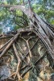 Zadziwiający nieprawdopodobni korzenie gigantyczni antyczni drzewa Ta Prohm, Angkor Wat, Siem Przeprowadzają żniwa, Kambodża Świą Obrazy Stock