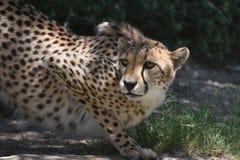 Zadziwiający Przysiadły geparda kot na Płaskiej skale Jest Czujny obraz royalty free