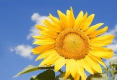 zadziwiający słonecznik Obrazy Royalty Free
