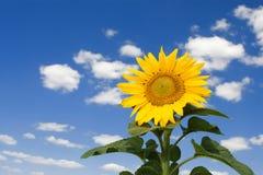 zadziwiający słonecznik Zdjęcia Stock
