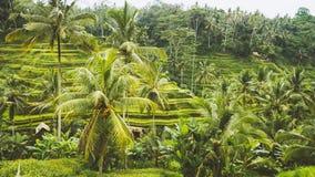 Zadziwiający Tegalalang Rice tarasu pola i niektóre drzewka palmowe Wokoło, Ubud, Bali, Indonezja Fotografia Royalty Free