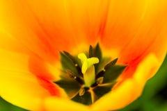 Zadziwiający wizerunek zakończenie w górę tulipanu obraz royalty free