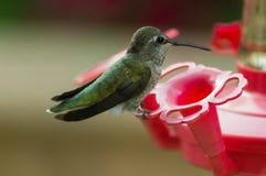 Zadziwiający zakończenie nucić ptasi obsiadanie przy ptasim dozownikiem całkowicie wciąż zdjęcie stock