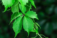 Zadziwiający zieleń liście Zdjęcie Royalty Free