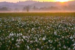 Zadziwiający zmierzch nad polem piękni dzicy daffodils Obraz Royalty Free