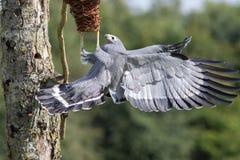 Zadziwiający zwierzę Afrykański błotniaka jastrzębia ptak foraging dla f zdobycz Obraz Stock