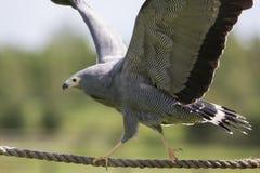 Zadziwiający zwierzę Afrykański błotniaka jastrzębia ptak zdobycza równoważenie na r Obrazy Stock