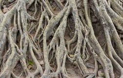 Zadziwiający chaosu drzewa korzenie Zdjęcia Royalty Free