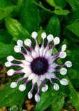 Zadziwiający i rzadki kwiat fotografia royalty free