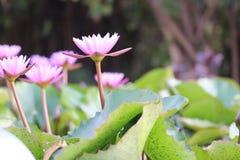 Zadziwiający lotosowi kwiaty fotografia royalty free