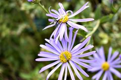 Zadziwiający purpura kwiaty Fotografia Stock