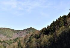 Zadziwiający Sosnowy las Zdjęcia Stock