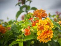 Zadziwiający widok kolorowy kwiecenie w ogródzie Zdjęcie Stock