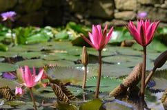 Zadziwiający wodni lillies Zdjęcia Royalty Free