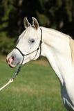 Zadziwiający biały ogier arabski koń Zdjęcia Stock