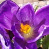 Zafferano, bello, molla, glower, colori, fiore della molla immagine stock libera da diritti