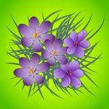 Zafferano, fiori di porpora di crocus sativus Fotografia Stock Libera da Diritti