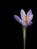 Zafferano Flower Stock Photo