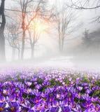 Zafferano nella nebbia Fotografie Stock Libere da Diritti