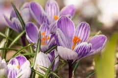 Zafferano porpora di crocus sativus - vista di crescita di fiori di fioritura della molla nella fauna selvatica Fotografia Stock