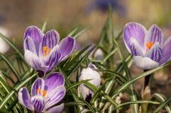 Zafferano porpora di crocus sativus - vista di crescita di fiori di fioritura della molla nella fauna selvatica Fotografia Stock Libera da Diritti