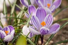 Zafferano porpora di crocus sativus - vista di crescita di fiori di fioritura della molla nella fauna selvatica Immagini Stock