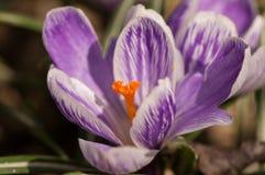 Zafferano porpora di crocus sativus - vista di crescita di fiori di fioritura della molla nella fauna selvatica Immagine Stock