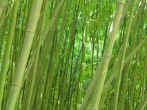 zagajnik bambusowy Obraz Royalty Free
