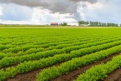 Zagrażać chmurnieje nad Holenderski pole z marchwianą kultywacją Fotografia Royalty Free