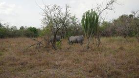 Zagrażać dorosłe Afrykańskie dzikie białe nosorożec pasa krzakami w rezerwie zbiory