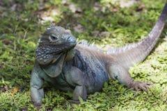 Zagrażająca błękitna iguana Zdjęcia Royalty Free