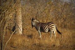 Zagrażająca przylądek Halnej zebry Equus zebra, Kruger park narodowy, Południowa Afryka Zdjęcie Stock