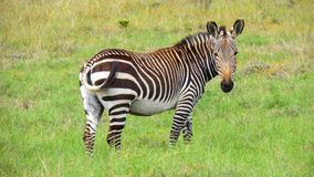 Zagrażająca Przylądka Góry Zebra Zdjęcia Stock