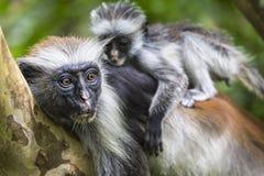 Zagrażająca Zanzibar colobus czerwona małpa, Joza (Procolobus kirkii) Fotografia Royalty Free
