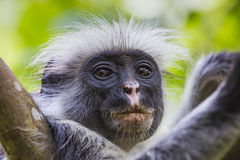 Zagrażająca Zanzibar colobus czerwona małpa, Joza (Procolobus kirkii) Obrazy Royalty Free