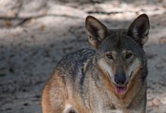 Zagrażający Czerwony wilk Fotografia Stock