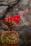 Zagrażający liścia grevillea (Grevillea infundibularis) Obraz Stock