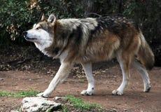 Zagrażający Meksykański Szary wilk obrazy stock