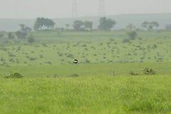 Zagrażający ptak Lesser Florican fotografia stock