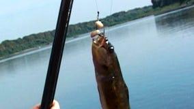 Zagrażający rzadcy gatunki słodkowodnej ryba Cottus Gobio wchodzić do w rewolucjonistki książce łapali połowu sprzęt zdjęcie wideo