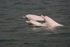 Zagrażający Sousa chinensis (delfin) obrazy stock