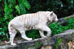 zagrażający tygrysi biel zdjęcie royalty free