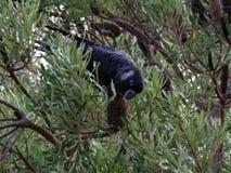 Zagrażający wystawiający rachunek Czarny kakadu fotografia stock