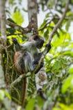 Zagrażający Zanzibar colobus małpy Procolobus czerwony kirkii, Joza Zdjęcie Royalty Free