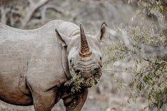 Zagrażam Czarny nosorożec Chrupać Zdjęcie Royalty Free