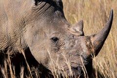 Zagrażająca biała nosorożec Fotografia Royalty Free