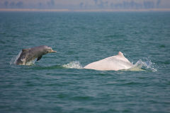 Zagrażający Sousa chinensis (delfin) Obraz Stock