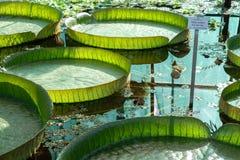 Zagreb, jardín botánico, la hoja más grande del lirio de agua del mundo Imagenes de archivo