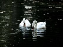 Zagreb, Maksimir, beautiful, town,recently,Beautiful, view ,white swans, love stock image