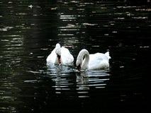 Zagreb Maksimir som är härlig, stad, för en tid sedan som är härlig, sikt, vita svanar, förälskelse fotografering för bildbyråer